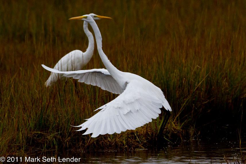 2 Great Egrets