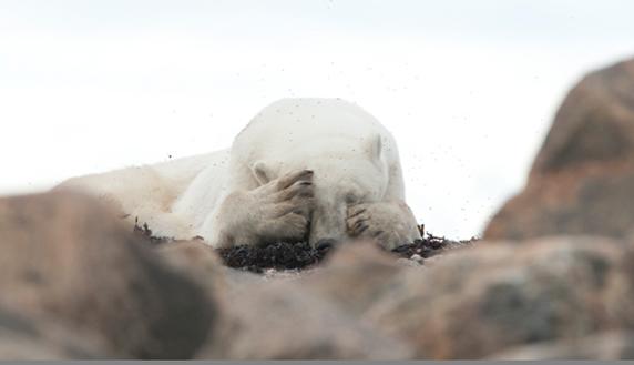 Large Polar Bear on rocks with Mark Lender