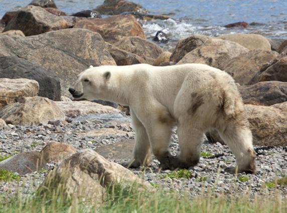 Polar Bear looking for food