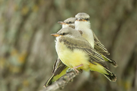 Migrating Western Kingbirds